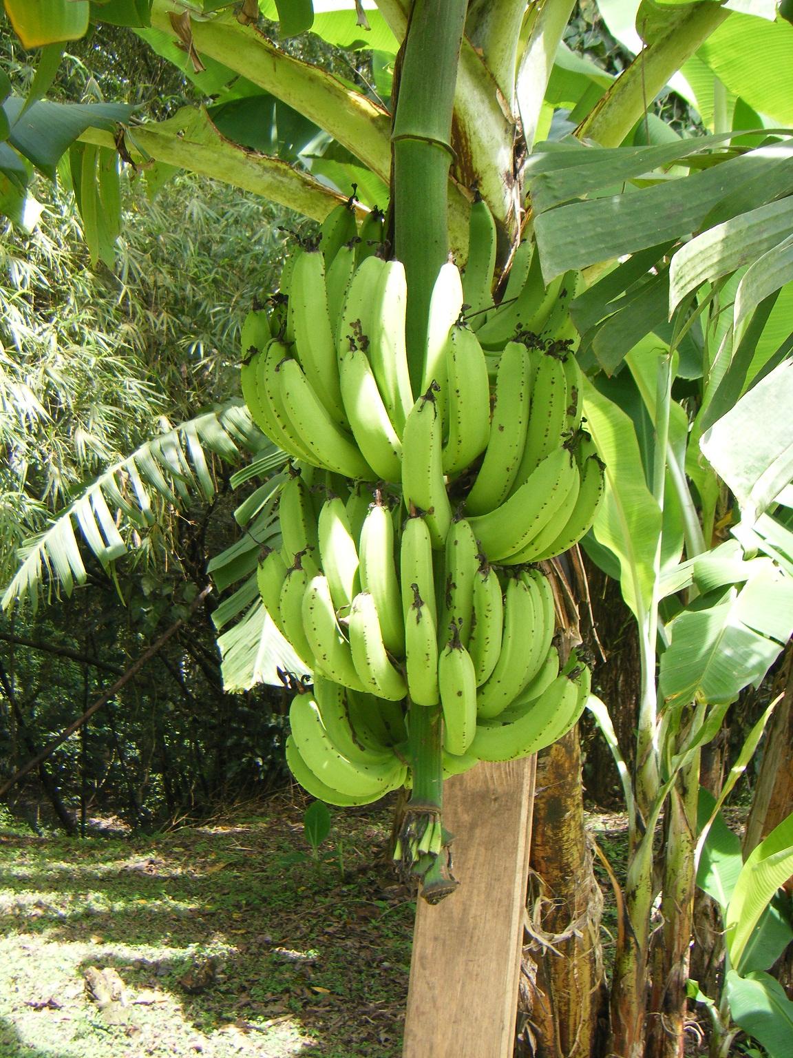 banana tree - photo #21
