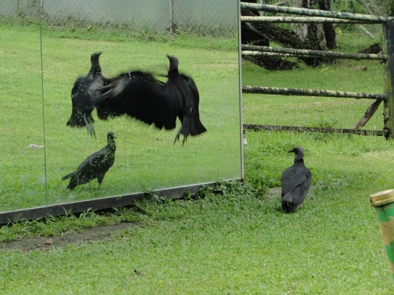 Vulture attacking its own reflection, Summit Zoo, Panama