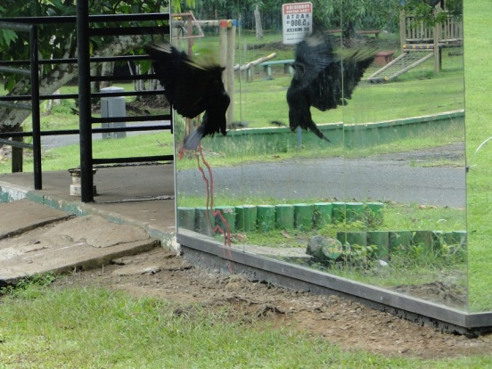 Vulture attacking its reflection, Summit Zoo, Panama