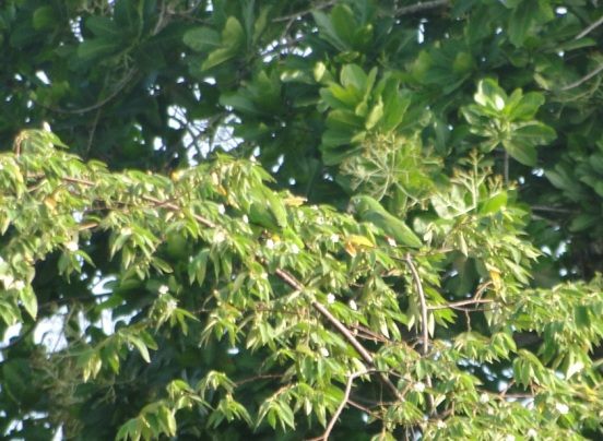 Amazon parrot from my backyard, Panama