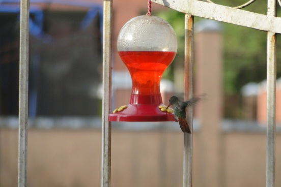 Hummingbird at my Feeder, Panama