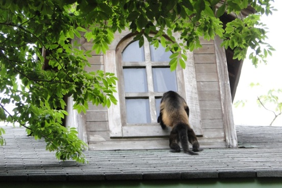 Howler monkey looking through window, Playa Bonita, Panama