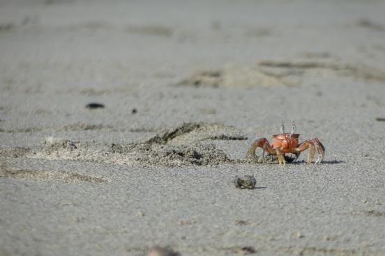 Fiddler Crab at Pedasi, Panama