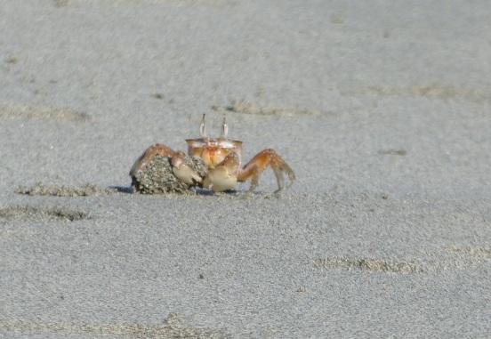 Fiddler crab, Pedasi, Panama