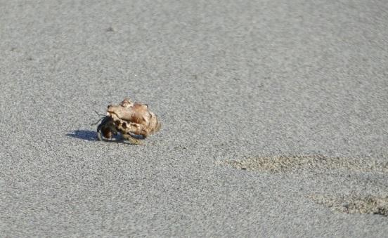 Hermit crab walking, La Playa Bonita, Pedasi, Panama