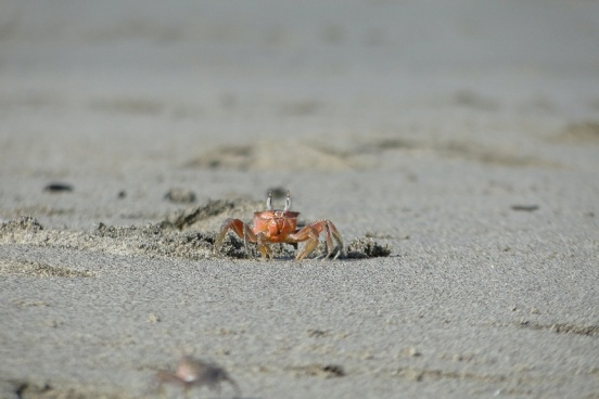 Orange beach crab, Pedasi, Panama