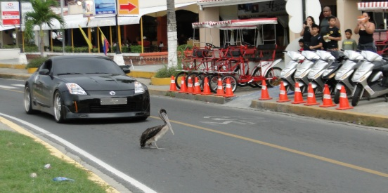 Pelican crossing Amador Causeway Panama City