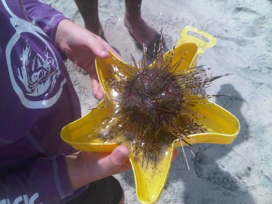My daughter with Sea urchin, Santa Clara beach, Panama Nov 2012