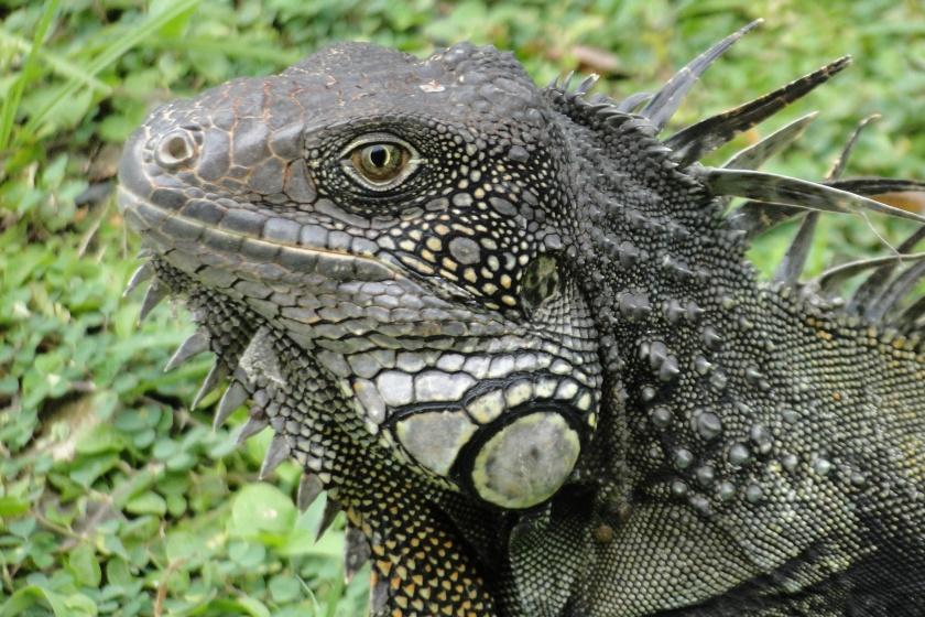 Close-up Iguana at Punta Culebra